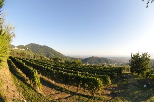 Lunae Vermentino Vineyard